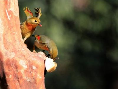 【有意思】争斗的相思鸟