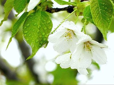《时光车城》第二集:校园樱花