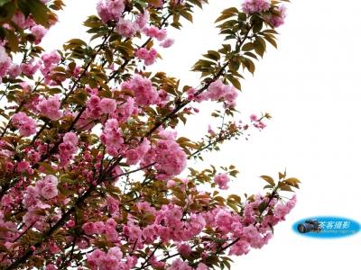【春】-清明时节,樱花红