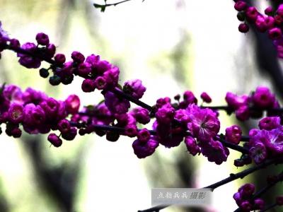 [春]盛开的榆叶梅