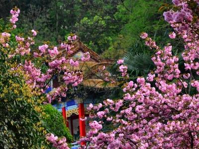 [春]十堰樱花处处开