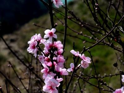 [春]毛桃花也好看