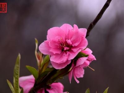 【春】樱花开啦
