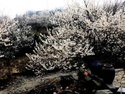 【春】十堰、樱桃花儿处处开