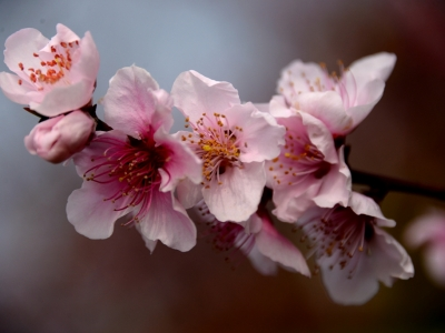 [春]月亮湾的桃花