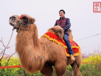 【春】桃花园里的孔雀与骆驼