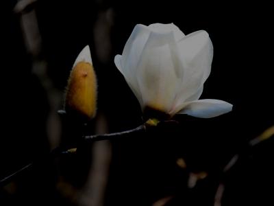 【春】玉兰花开