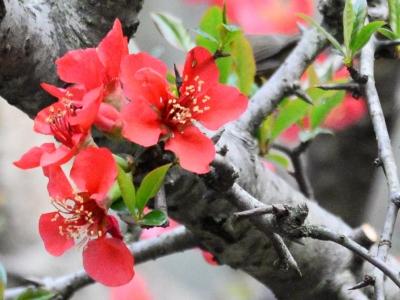 【春】西府海棠盛开