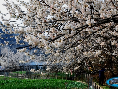 【春】-樱桃花开春满园