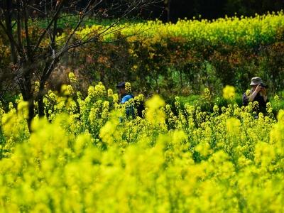[春]一四方山下菜花黄