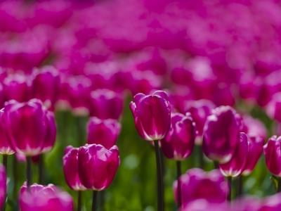 【春】阳光里的郁金香