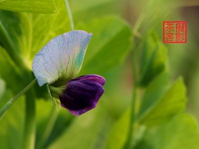 【春】-豌豆花开