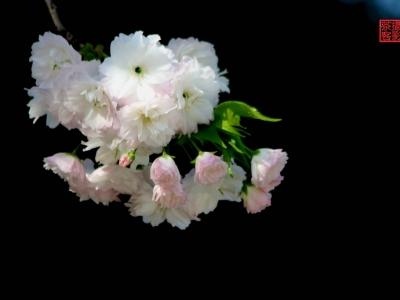 【 春】-樱花开了