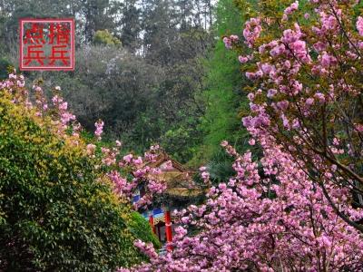 [春]樱花树下