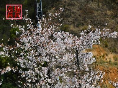 [春]一山上的樱花盛开