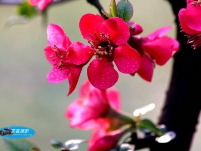 【春】-火红的海棠