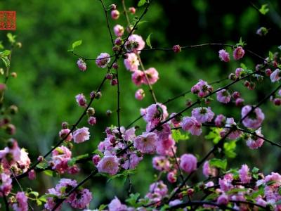 【春】-榆叶梅