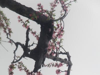 [春]桃花绽放