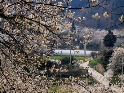 【春】《行走在画卷中 美丽乡村樱桃沟》