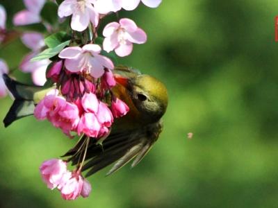 【春】-贴梗海棠与相思鸟