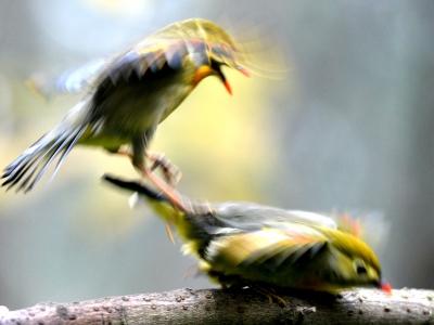 【有意思】相思鸟也欺生!