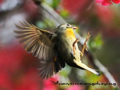【春】海棠相思鸟