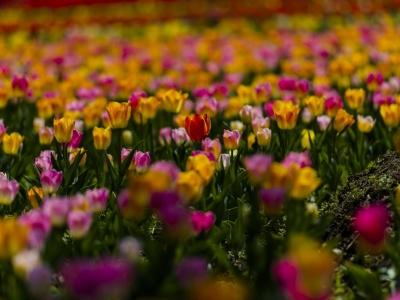 【春】春赏郁金香