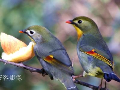 【有意思】-相思鸟的故事