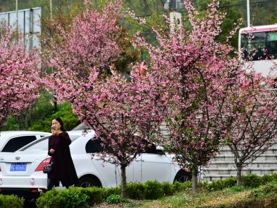 [春]:美丽的海棠花