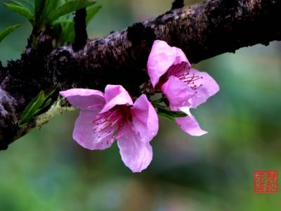 【春】-桃花开了