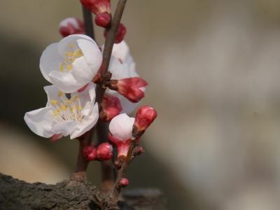 【春】樱花盛开