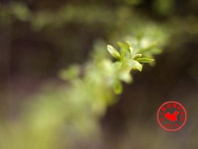 【春】【樱桃小镇的故事】靠种树出名的鹰卧沟