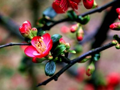 【春】三月海棠花争艳