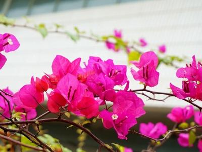 【春】庭院观赏植物三角梅