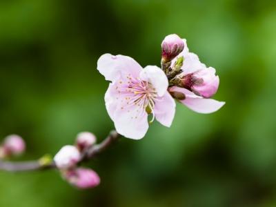 【春】梨花诉春