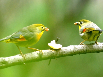 【有意思】相亲相爱相思鸟,同吃同住有意思。