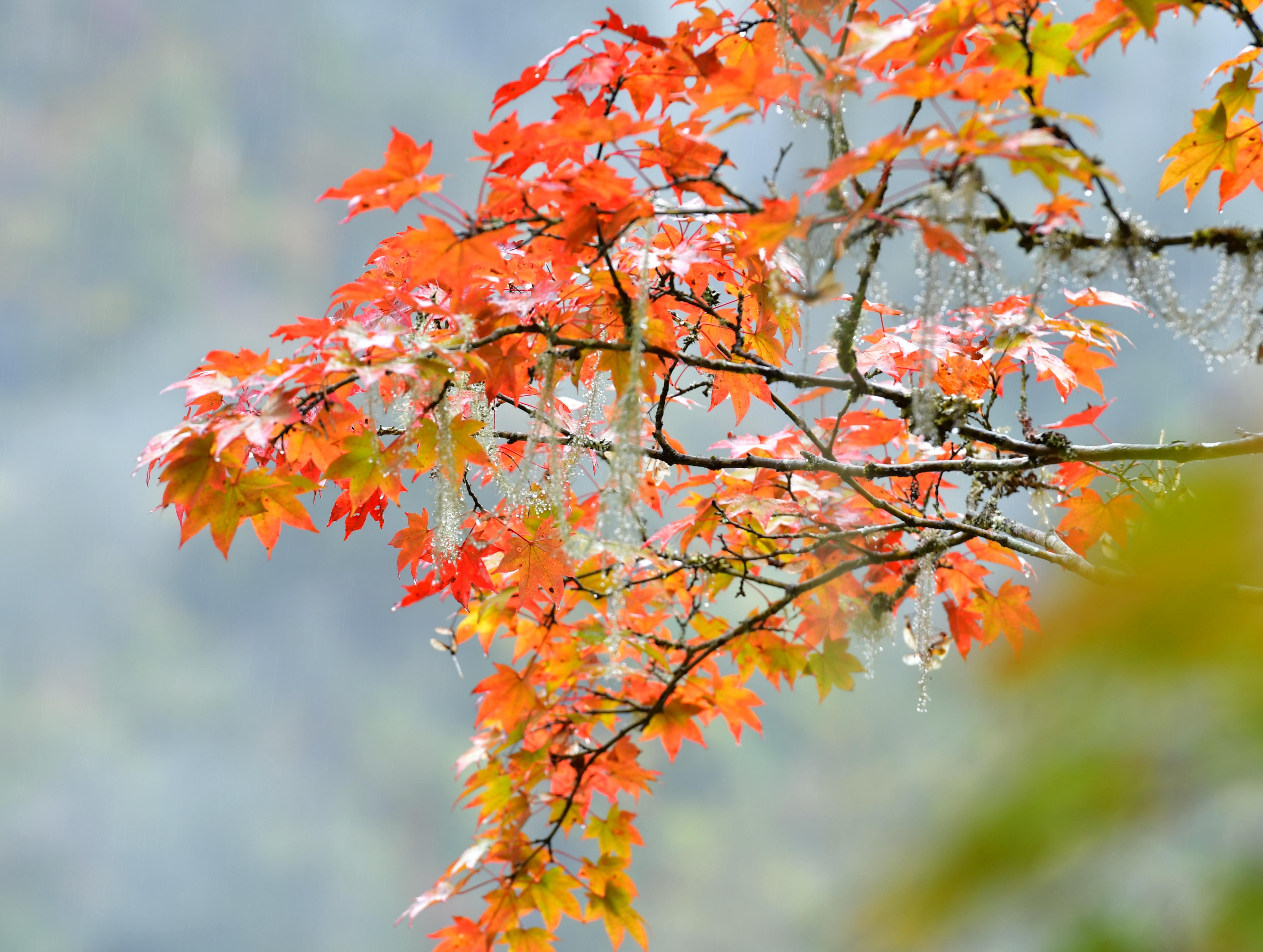 背景 壁纸 枫叶 红枫 绿色 绿叶 树 树叶 植物 桌面 4891_3687