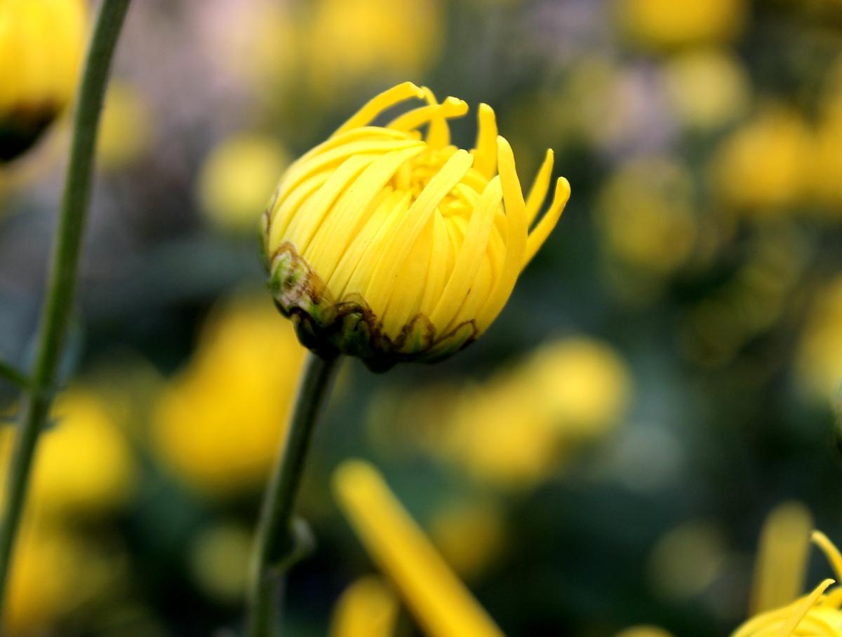 金黄的菊花1.JPG